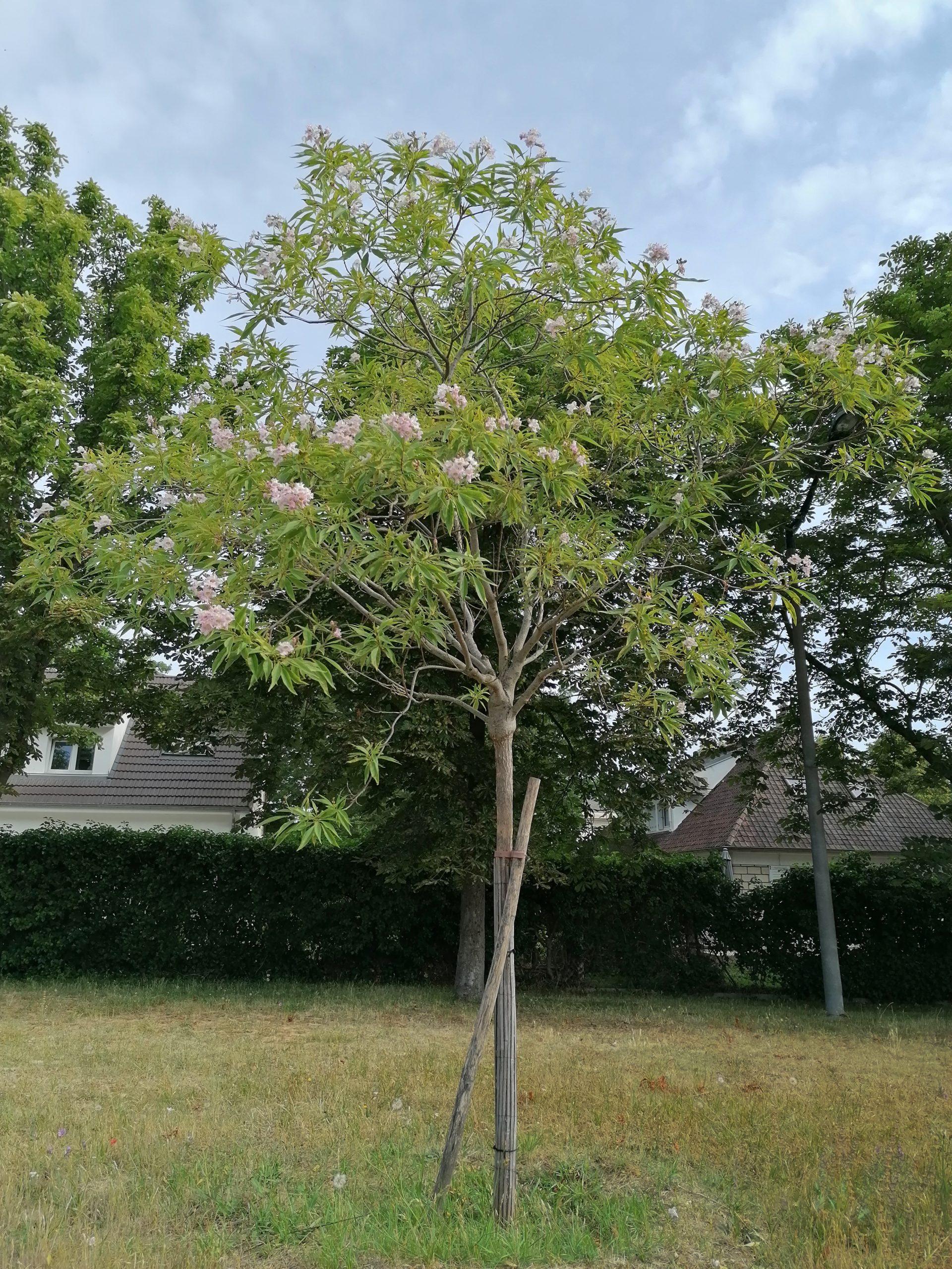 Chitalpa de Tashkent arbre