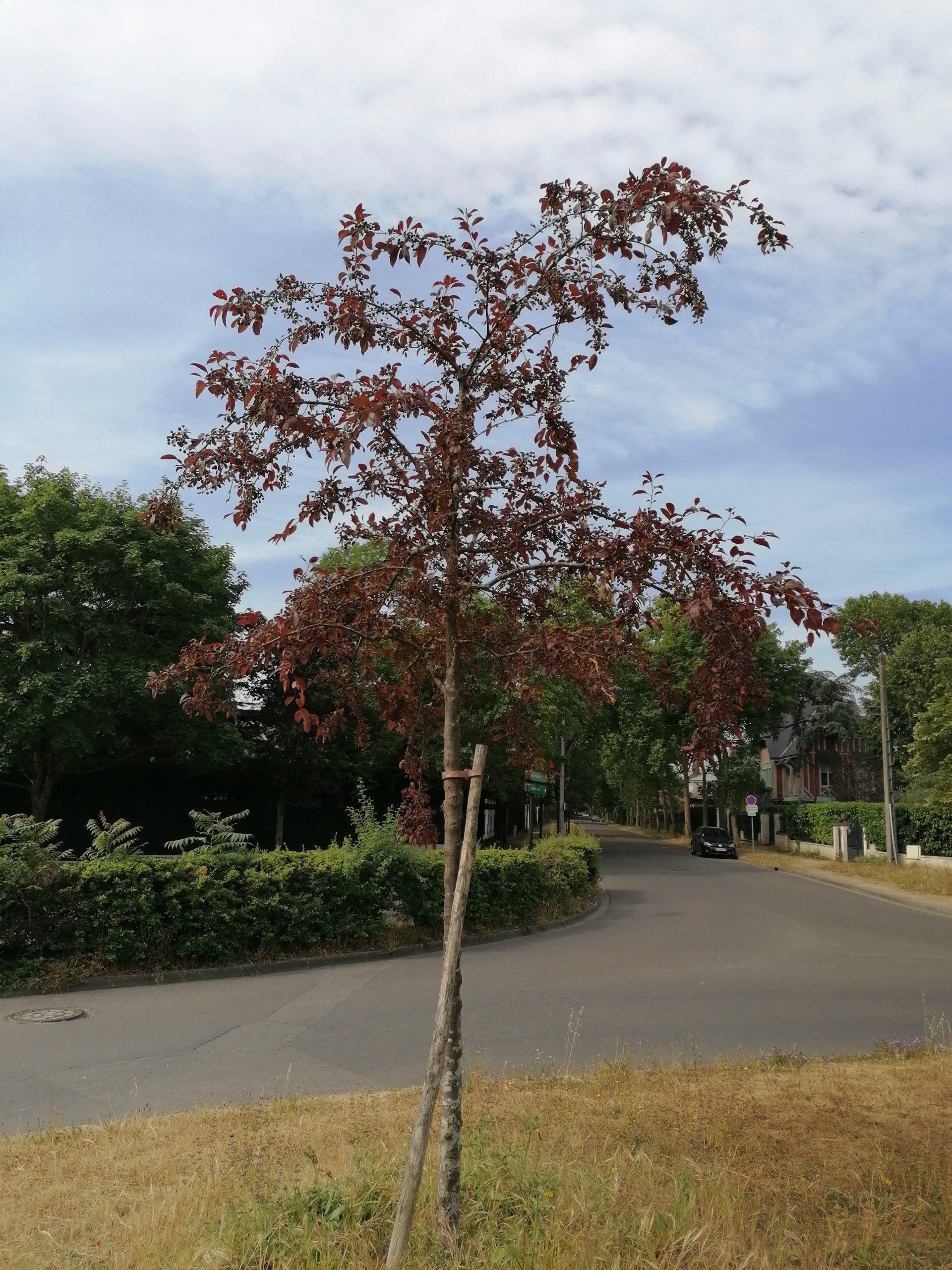 Coccinella_pommier d'ornement-arbre