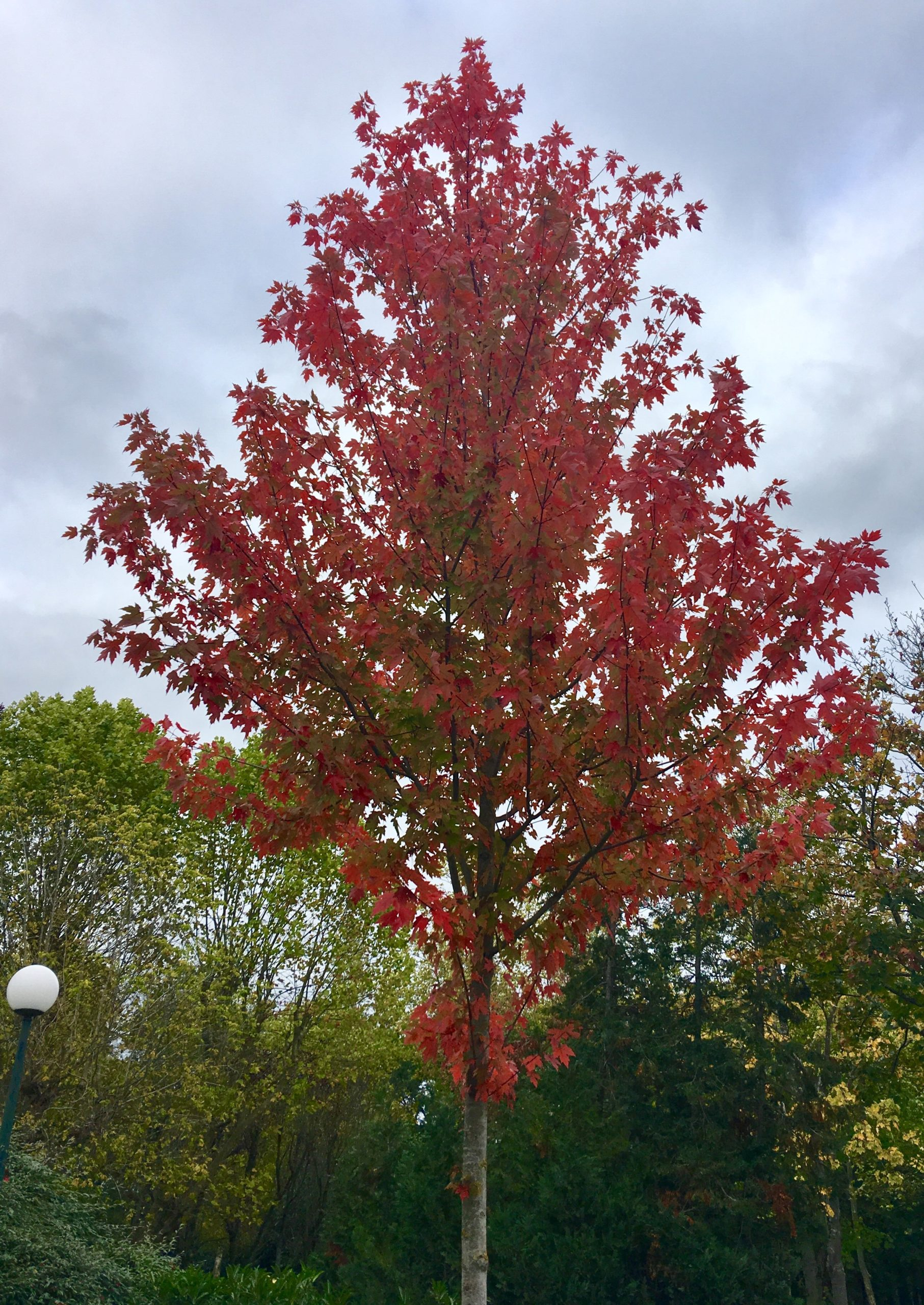 Erable Autumn Blaze - arbre