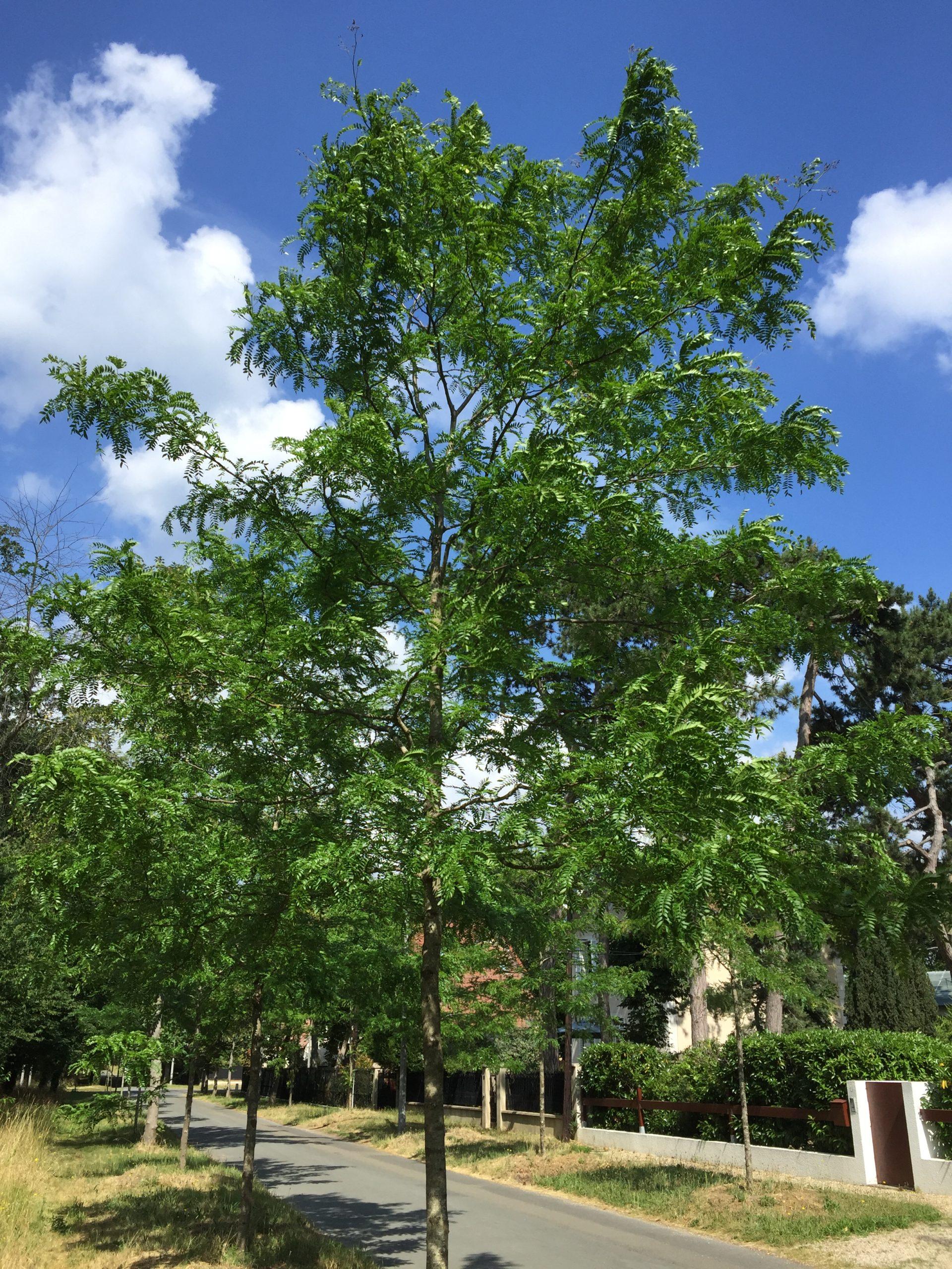 Gleditsia févier d'Amérique - arbre