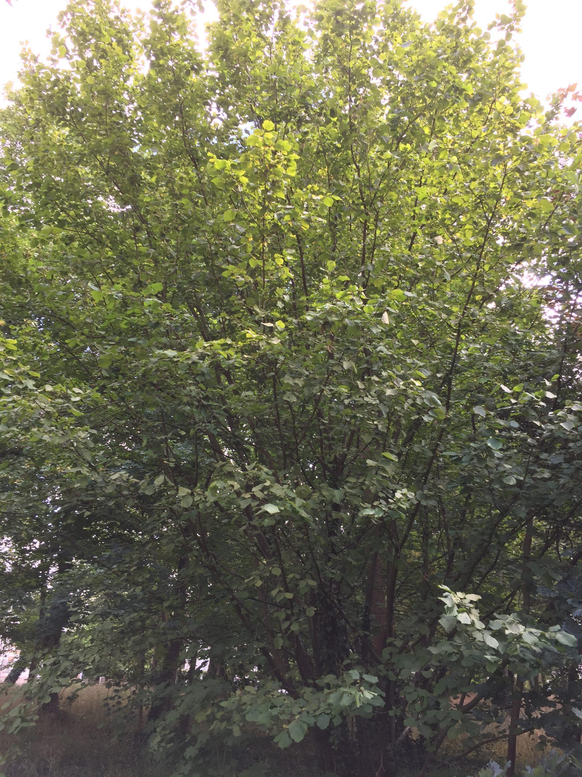 arbre - Noisetier