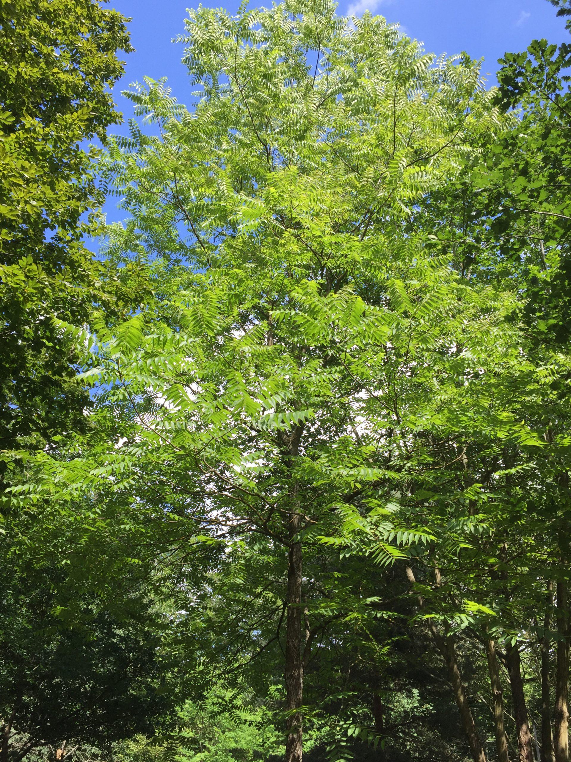 arbre - Noyer noir d'Amérique