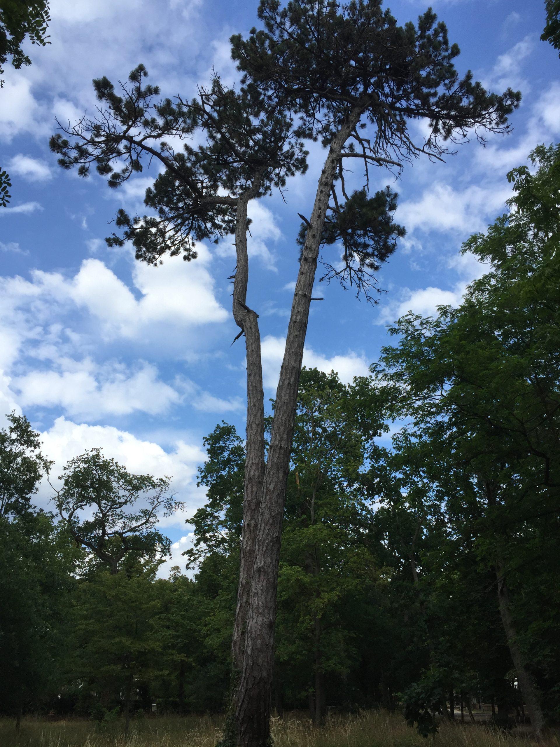 arbre - Pin noir d'Autriche