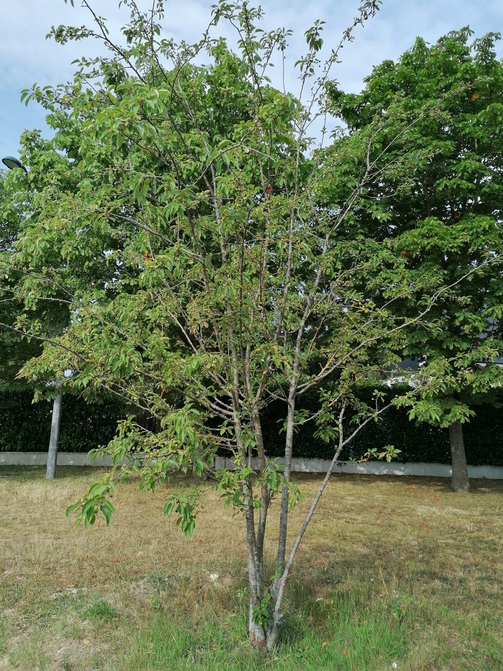 Pommier à fleurs - arbre