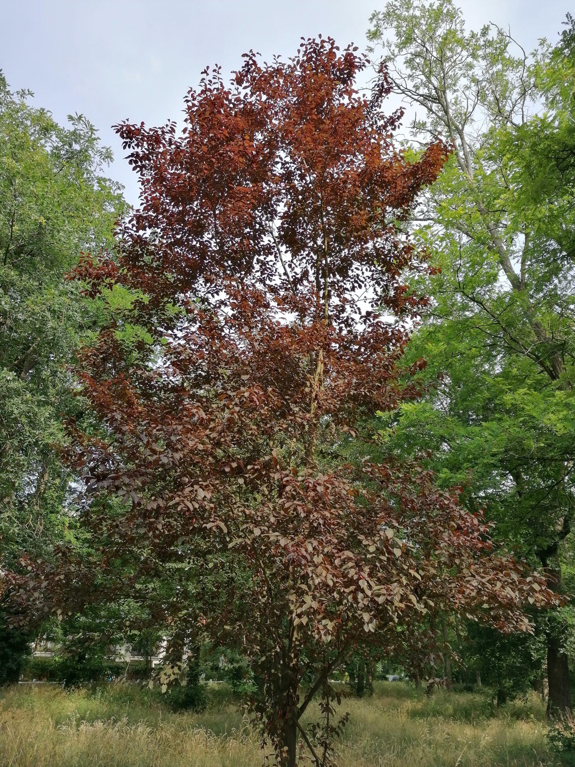 arbre - Prunus de pissardi