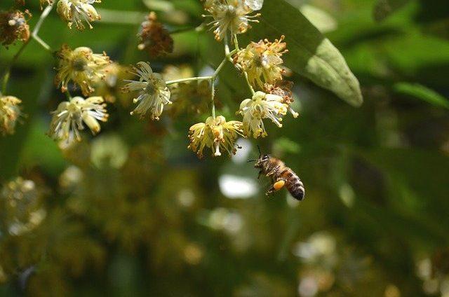 Tilleul-abeilles-Parc