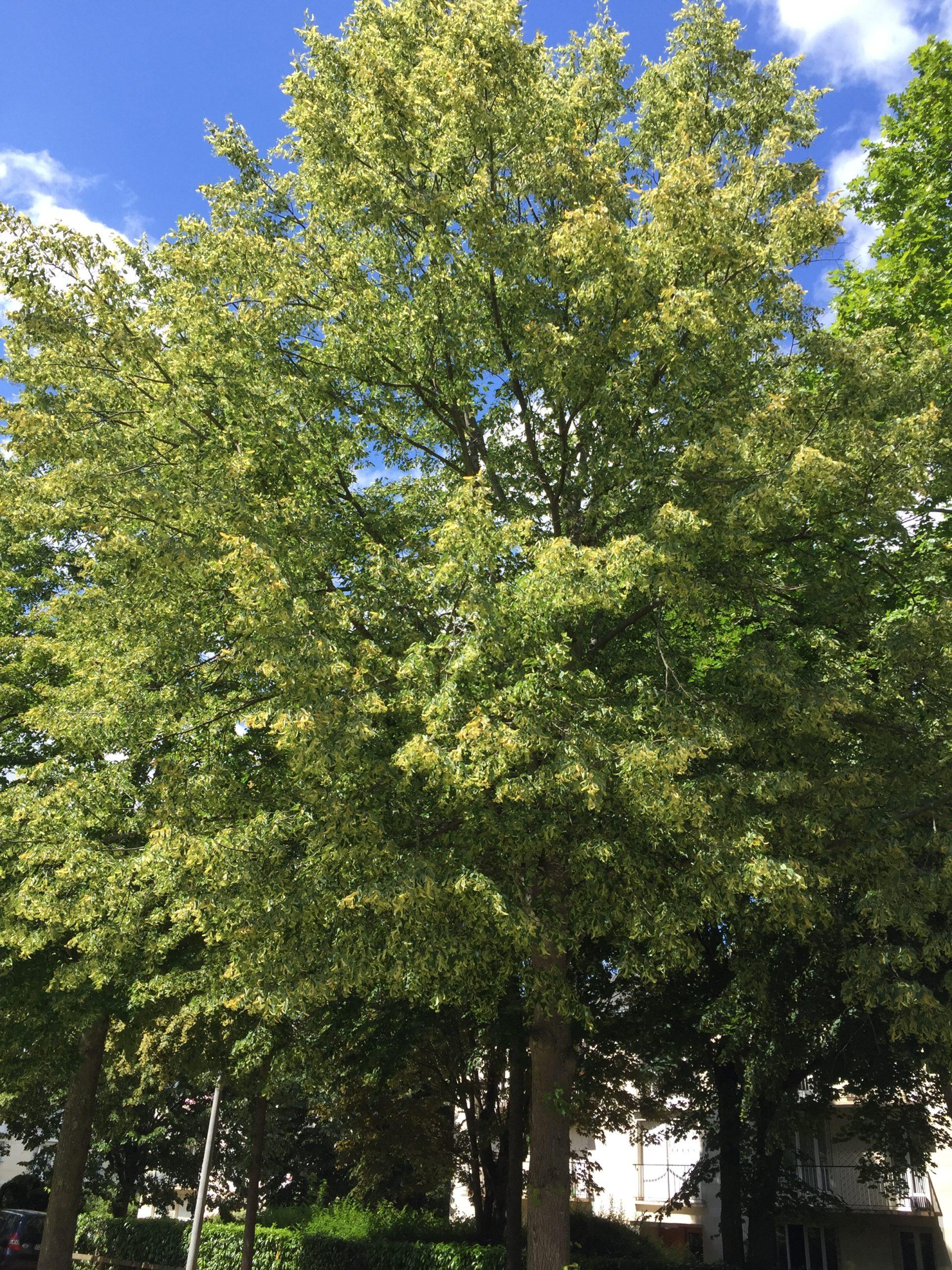 Tilleuls cordata - arbre