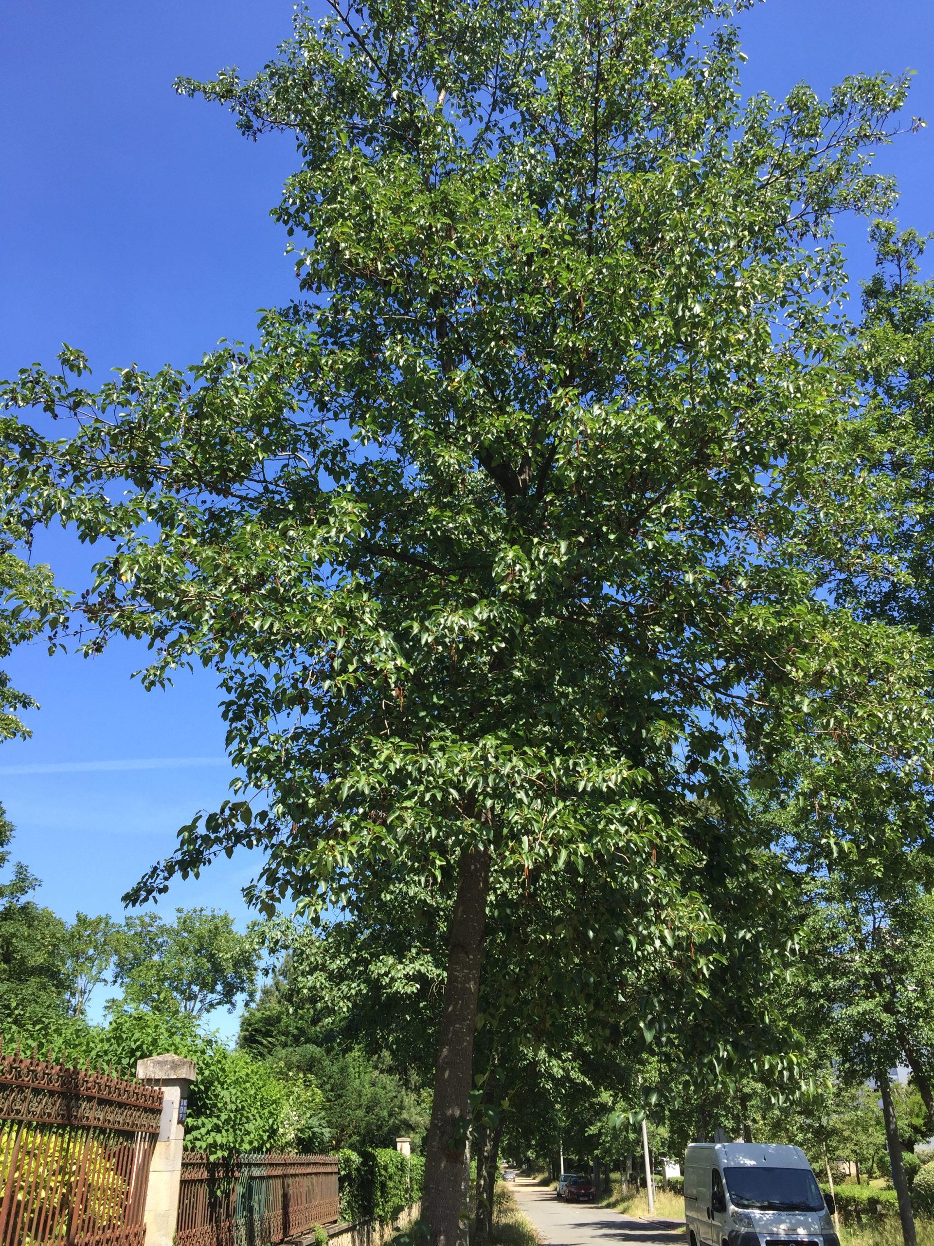 aulne de corse - arbre