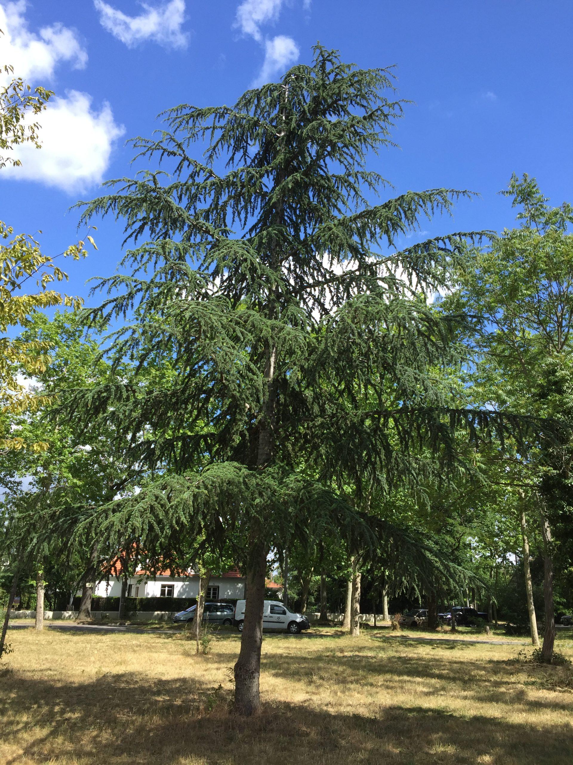 arbre-cèdre de l'Himalaya