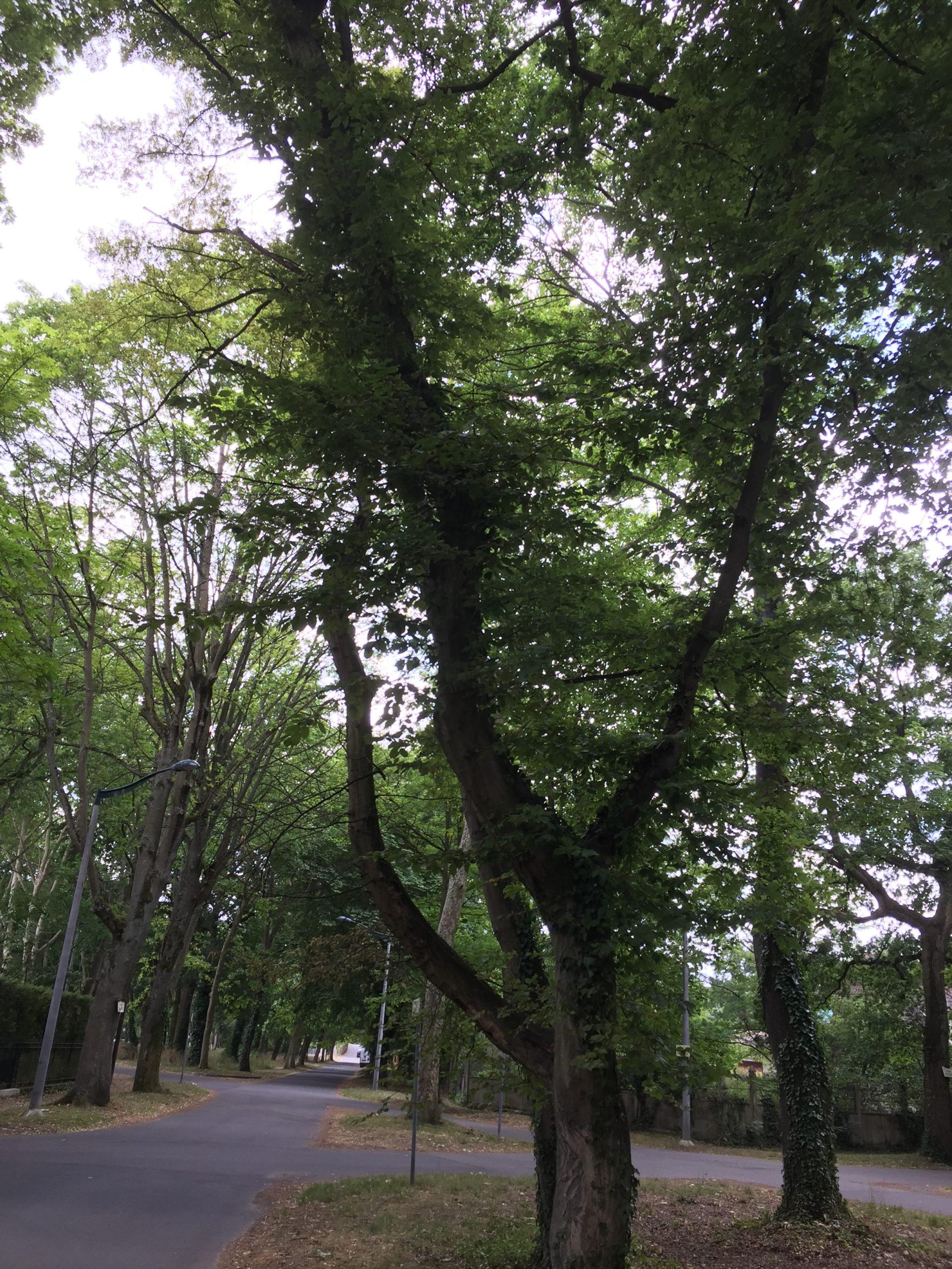 arbre - charme commun