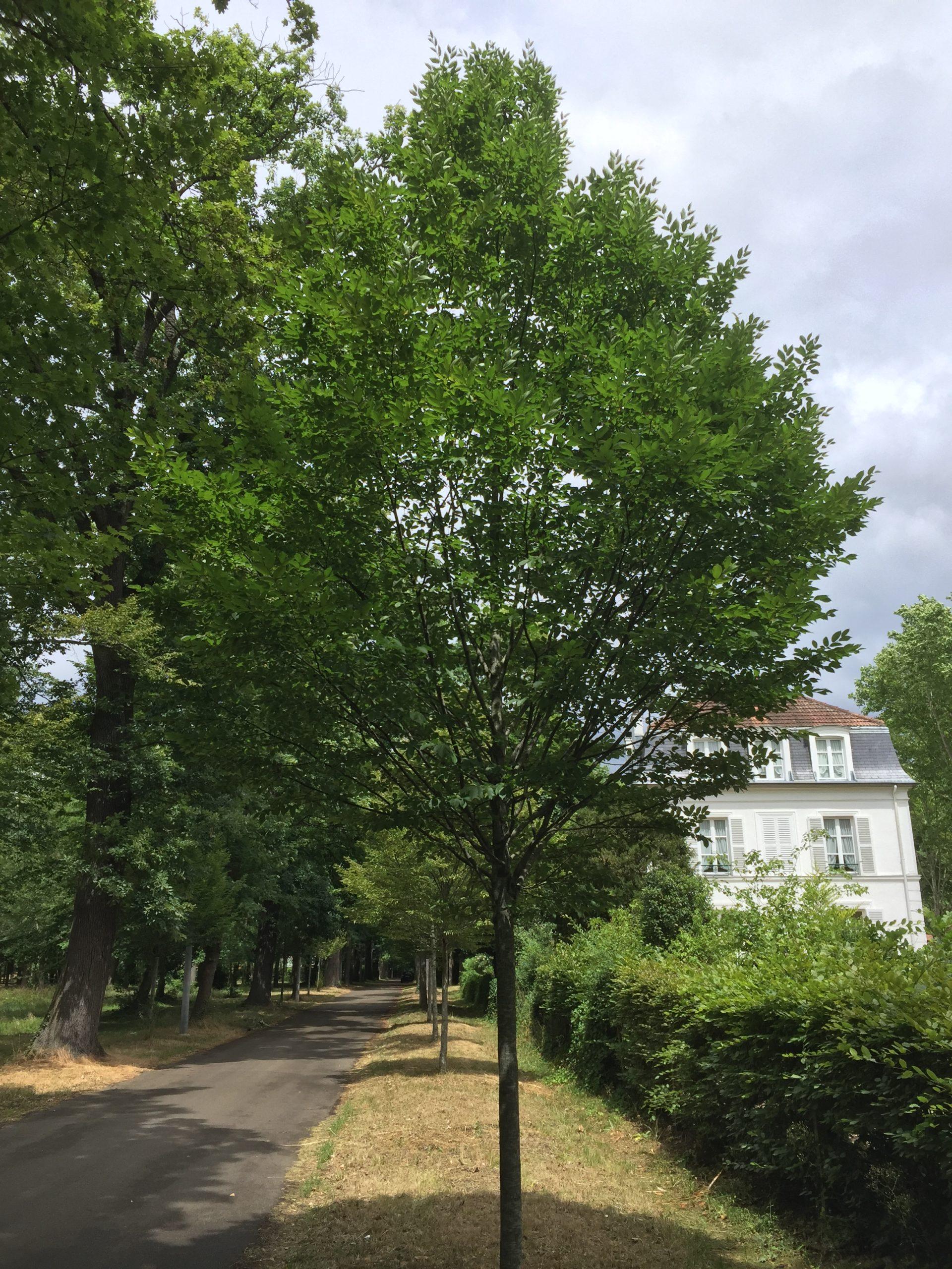 charme_alignement_arbre