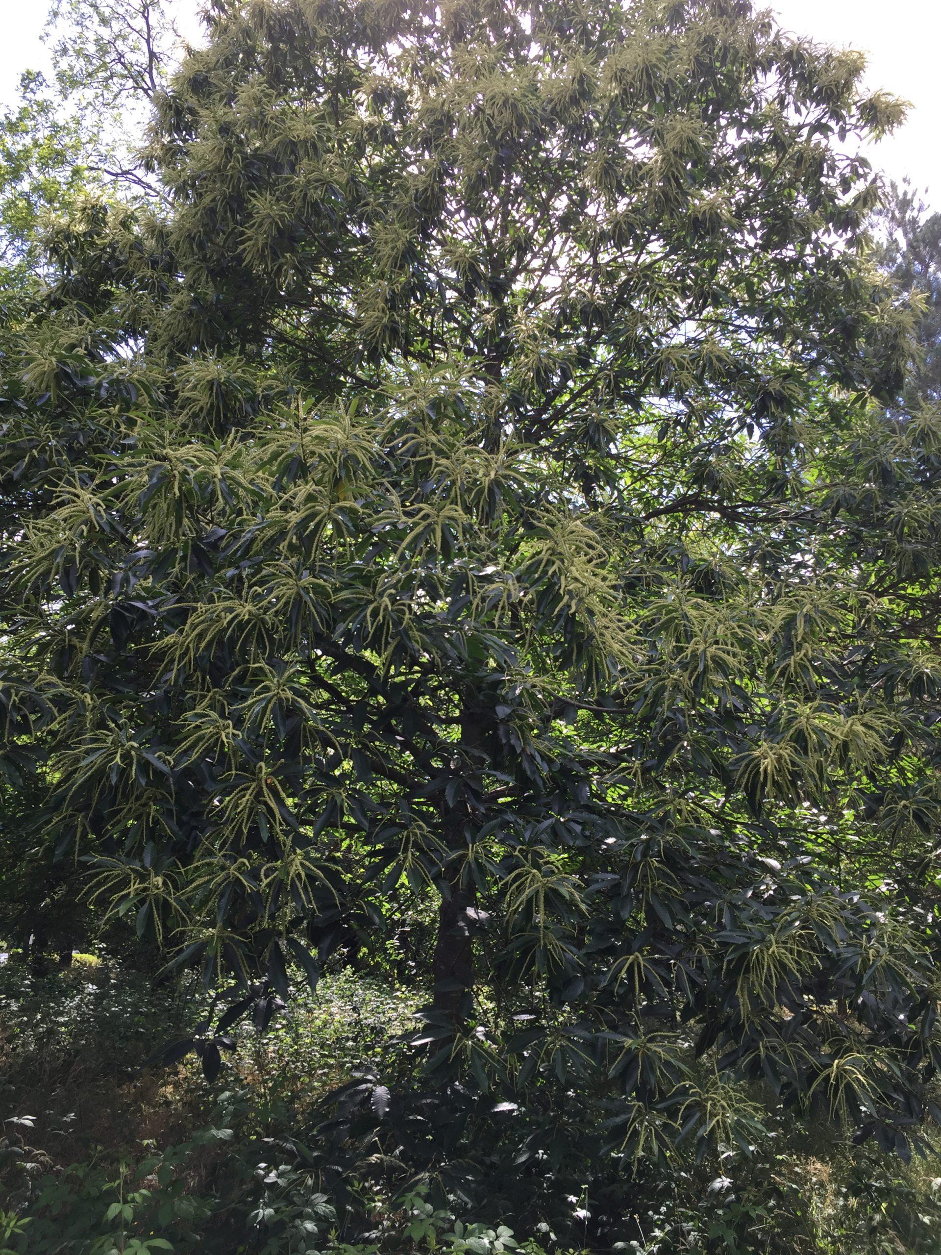 arbre-chataignier