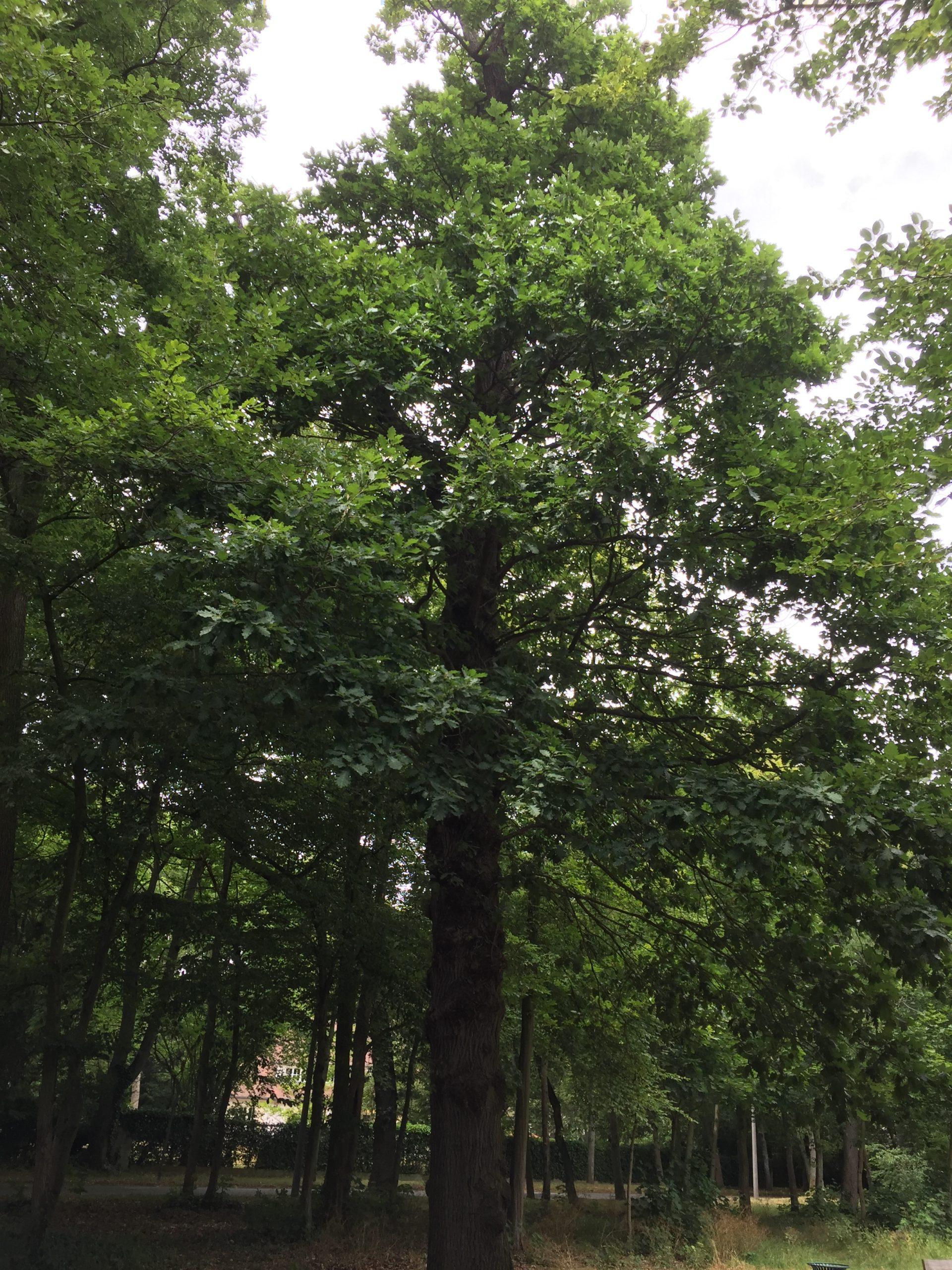 chêne réserve arbre