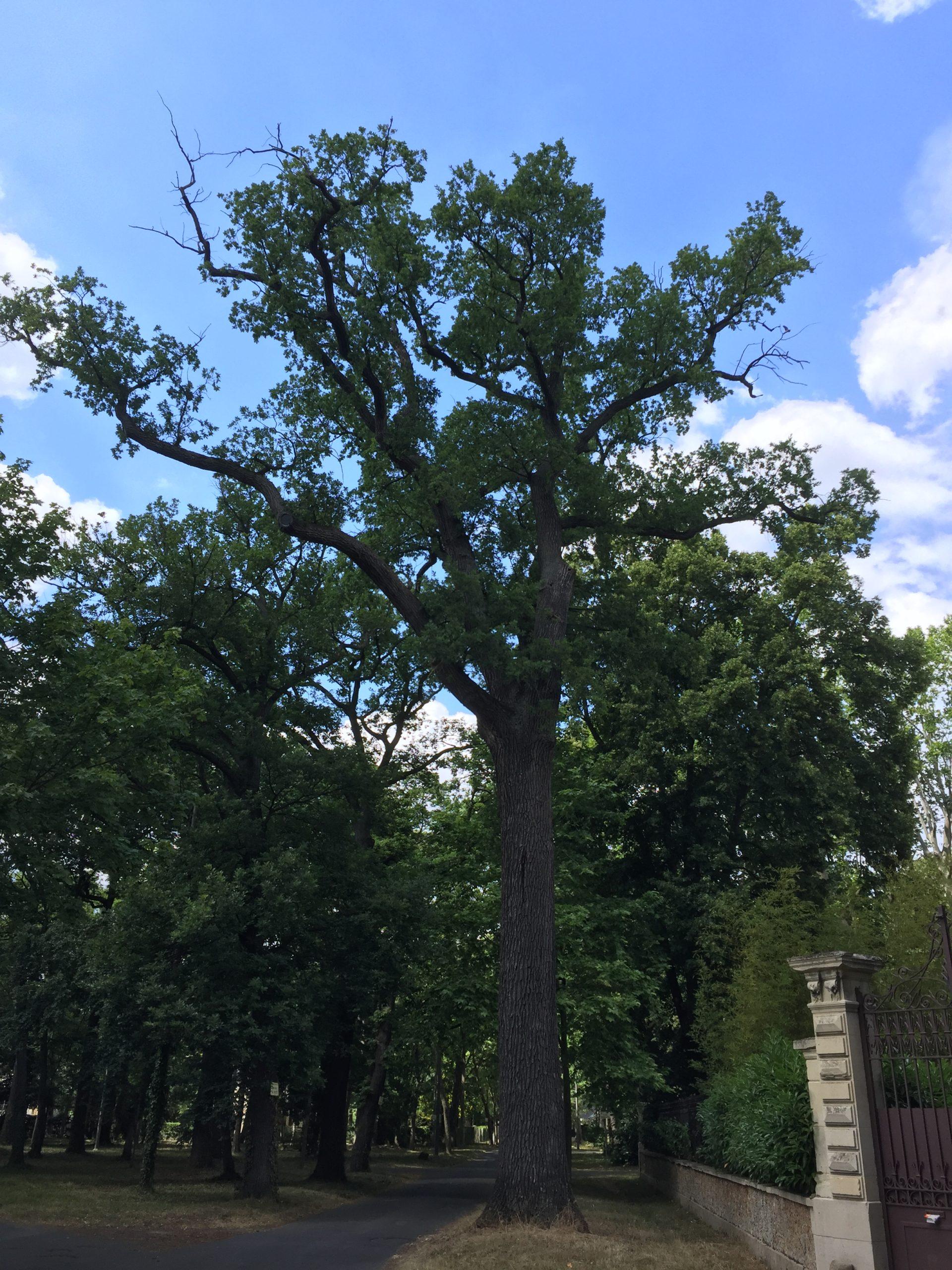 chêne pédonculé arbre