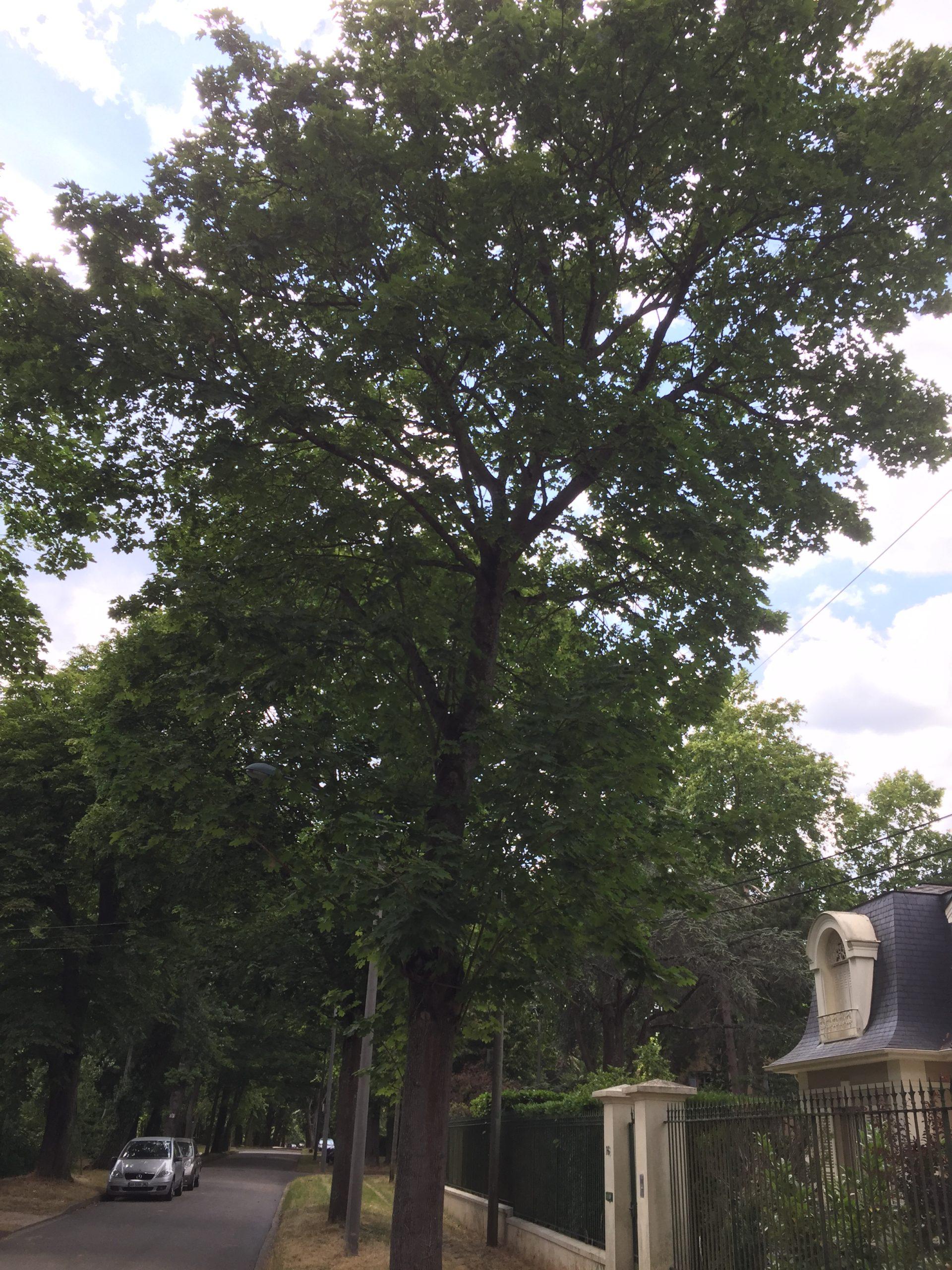 erable plane - arbre