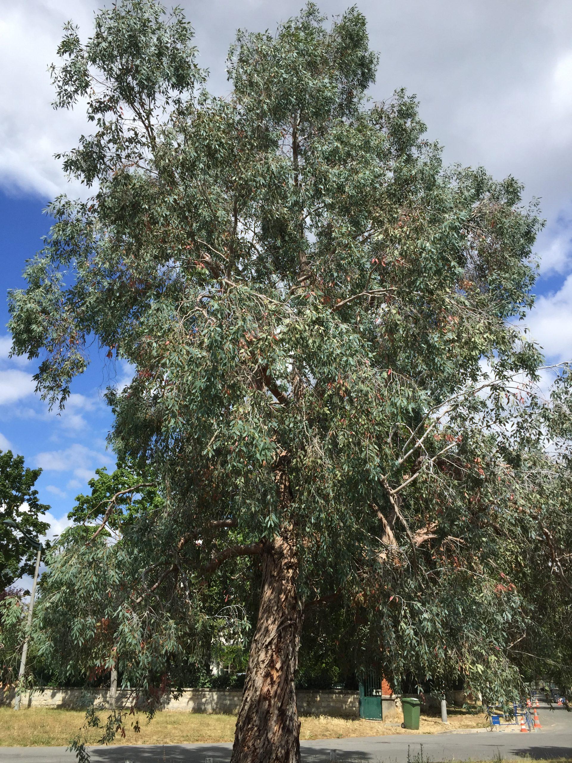 eucalyptus des neiges - arbre