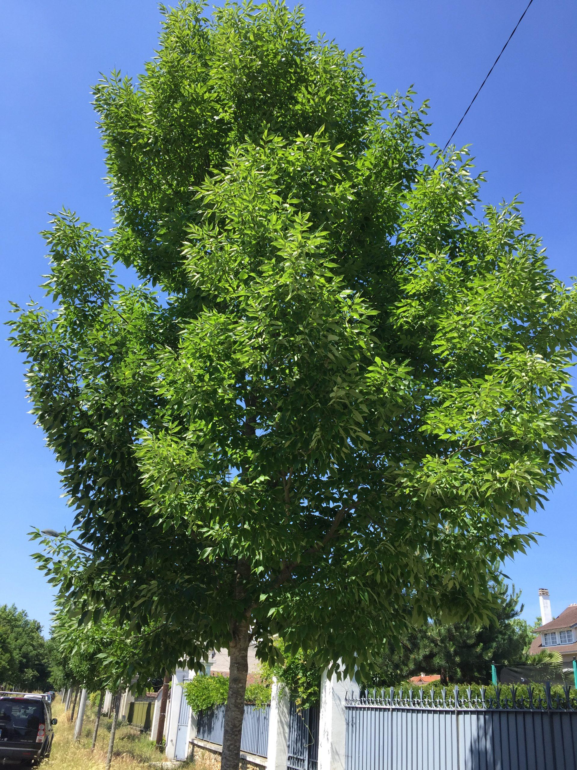 frêne d'Amérique arbre