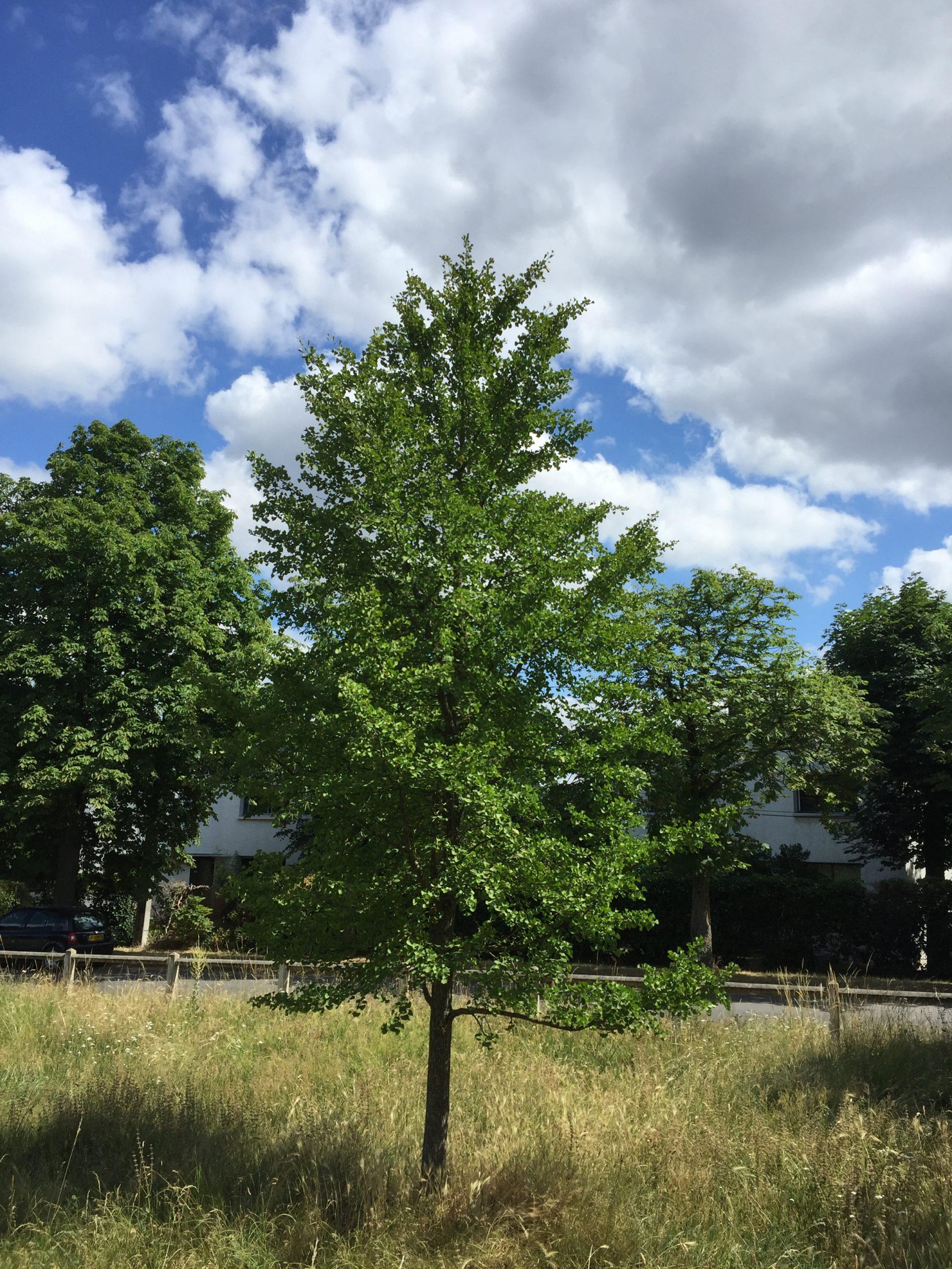 arbre-ginkgo biloba