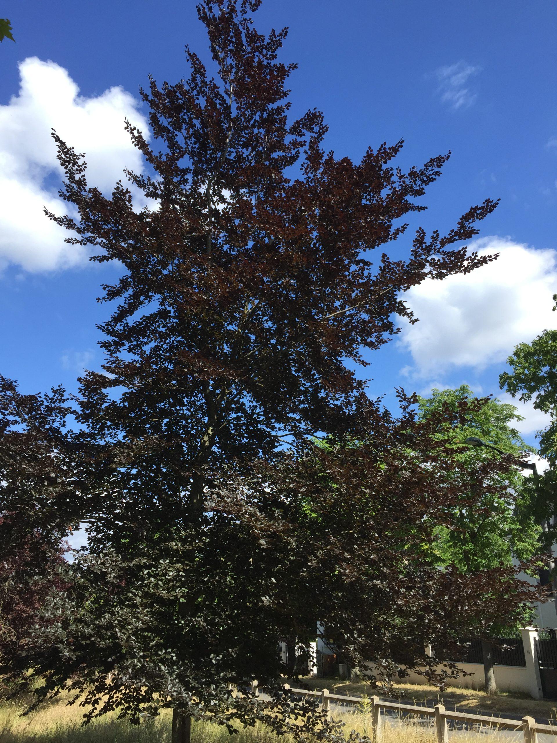 hêtre pourpre - arbre