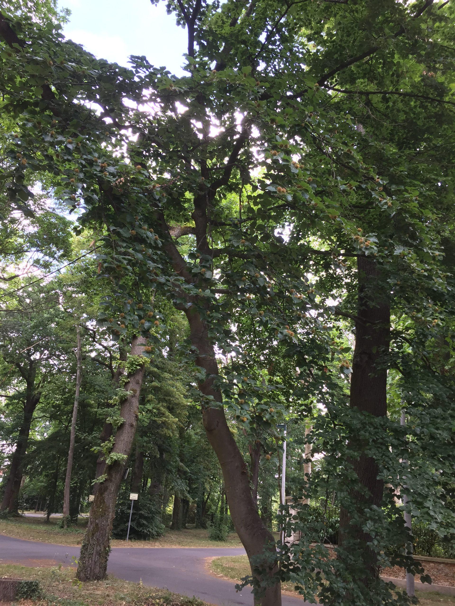 arbre - hêtre commun