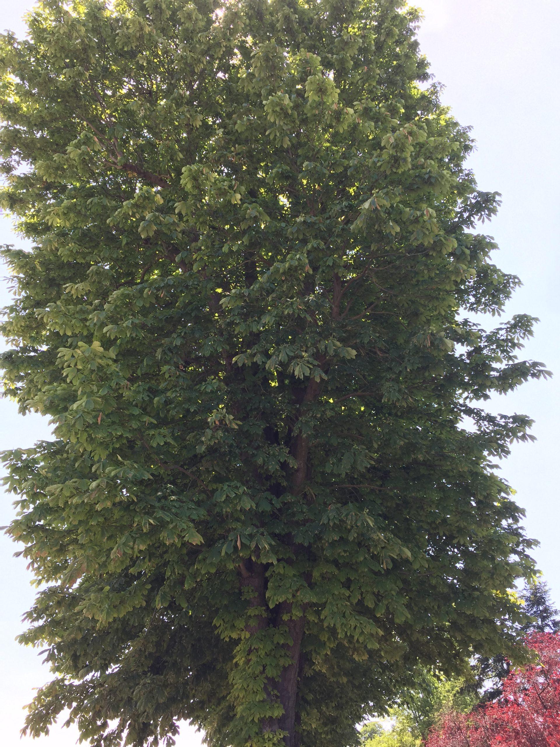 marronier blanc arbre