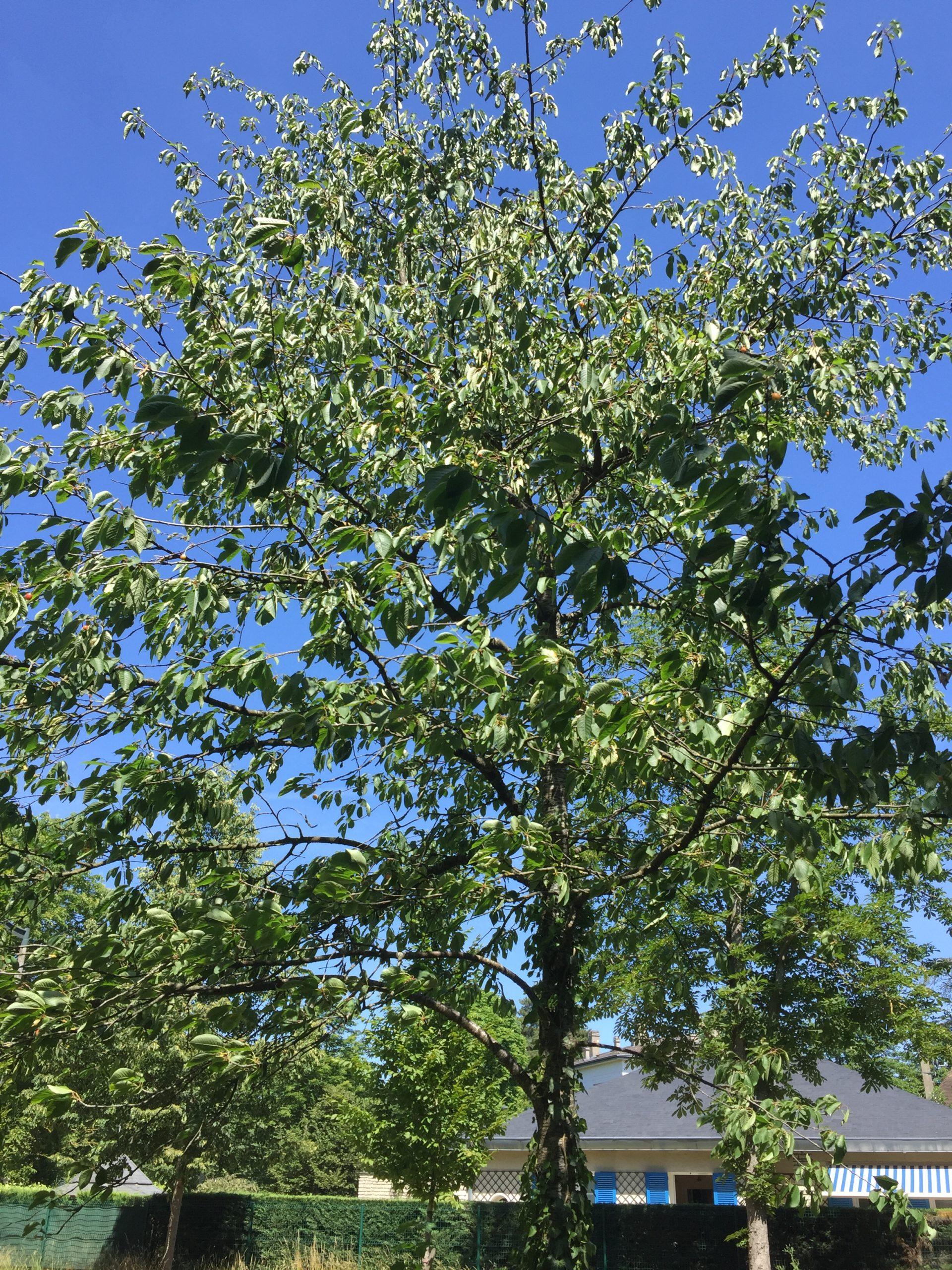 arbre - merisier