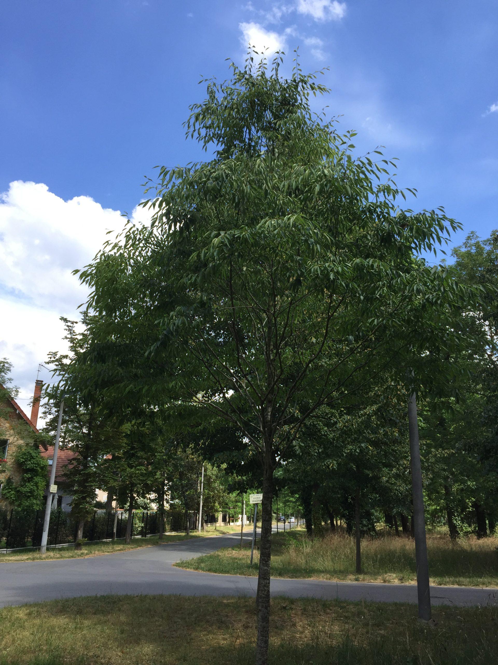 orme de Sibérie arbre