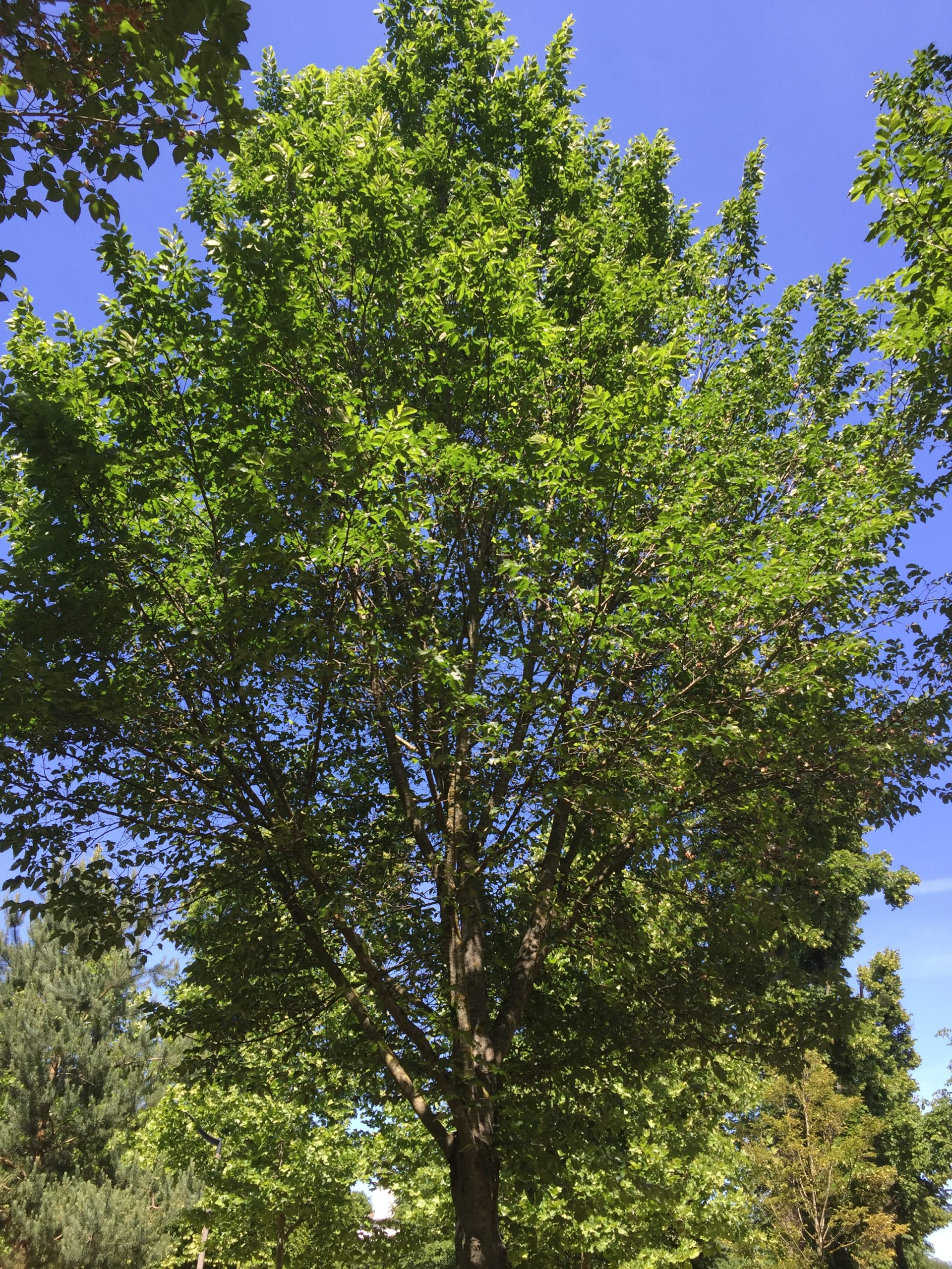 arbre - orme resista