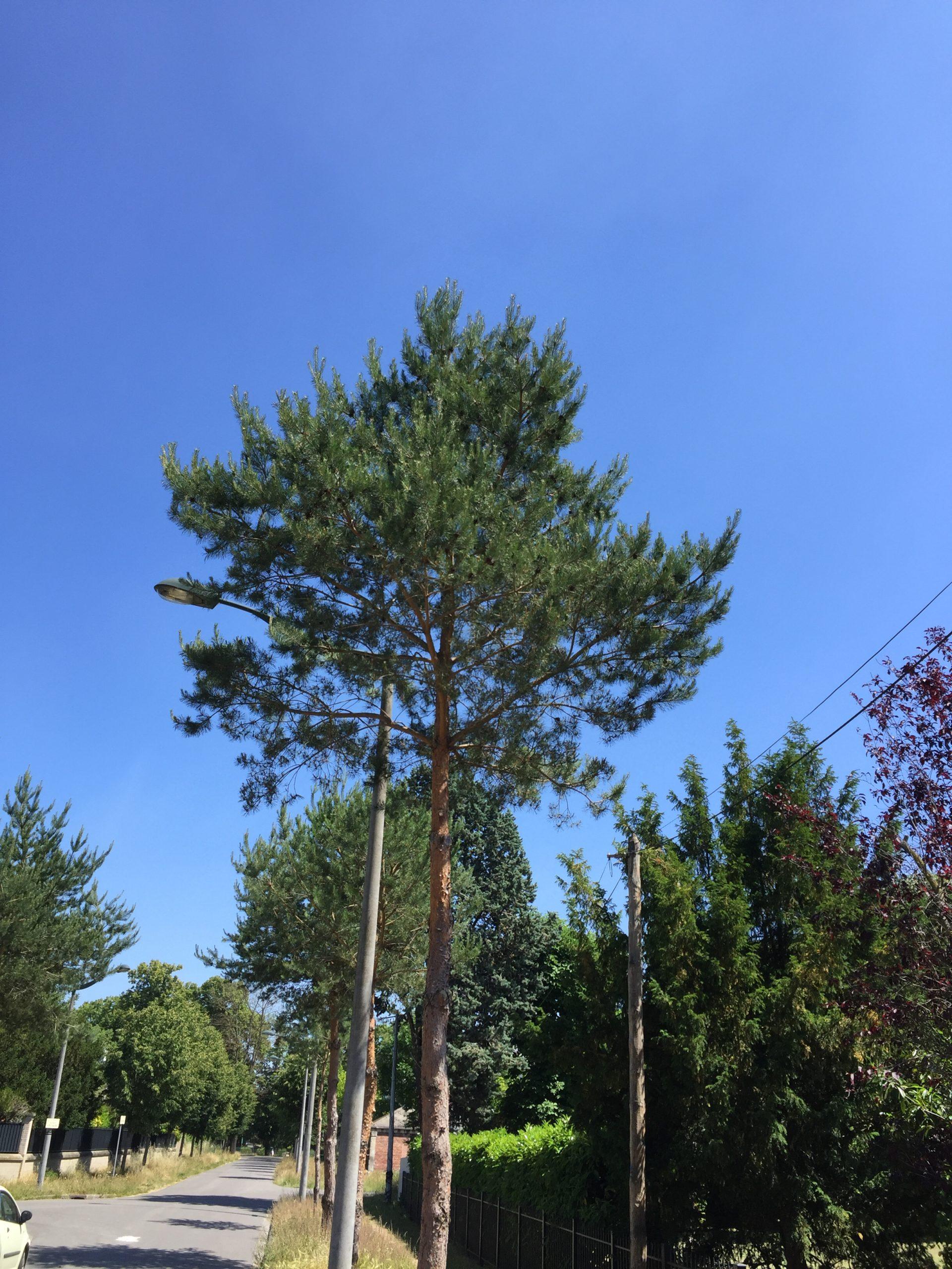 pin sylvestre - arbre