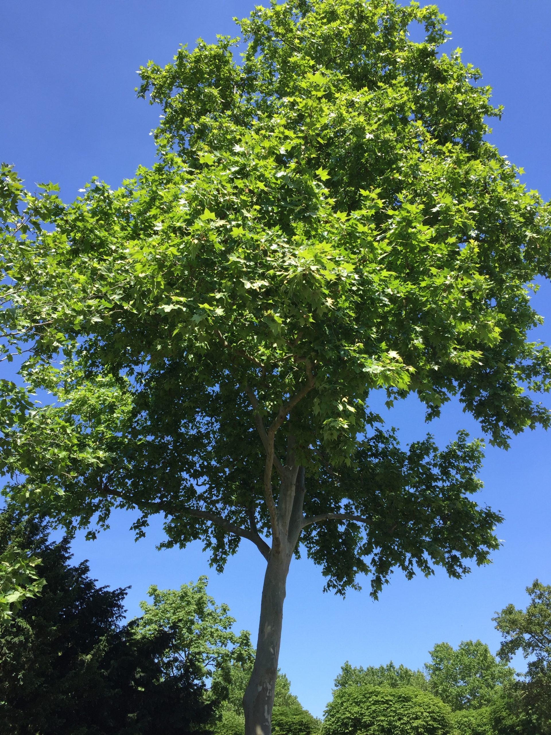 platane à feuilles d'érable - arbre