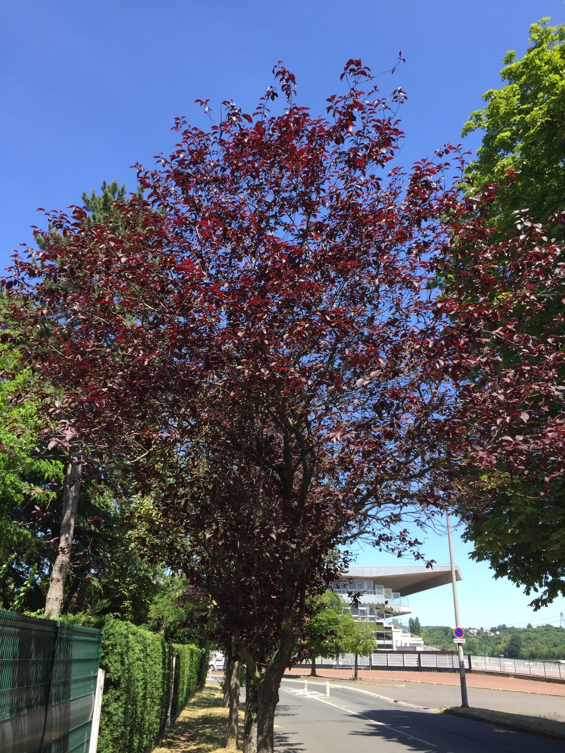 prunnus prunier de pissardii arbre