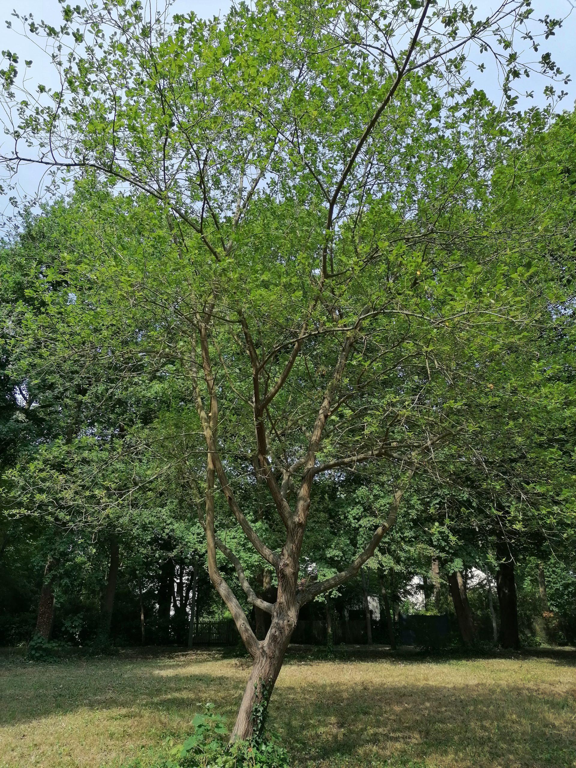 saule cendré - arbre